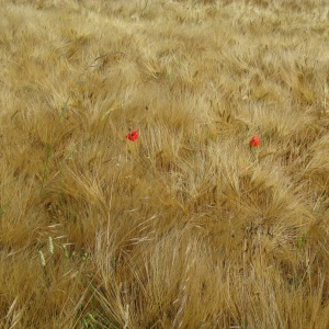 03-poppies-in-the-corn-1000_1758672162